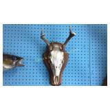 6 Point Rack w/Deer Skull Mount