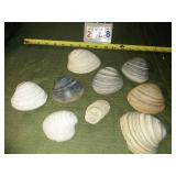 Lot of Large Collectible Shells