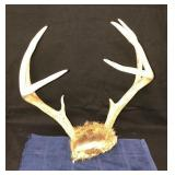 Large Set Deer Antlers