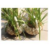 (2) Patio Plants