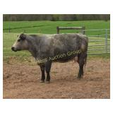 Bred Cow (due anytime)