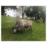 Cow #1- Second Calf Heifer Simmental Angus Cross