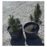2--Pine Trees