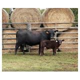 Clark Cattle | Pen 5