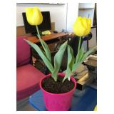Live plant tulips