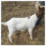 January Wether Show Goat #4