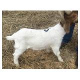February Wether Show Goat #6
