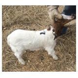January Doe Show Goat #7
