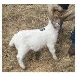 February Show Goat Doe #8