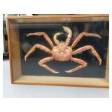 Large Alaska king crab, taxidermied, mounted in a