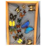 Stunning butterfly shadow box with 18 colorful  bu