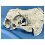 """Fossilized walrus skull upper portion only 13"""" lon"""