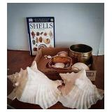 Two large conch shells, variety of other shells,
