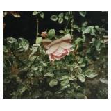 Eve Sonneman Photo of Rose