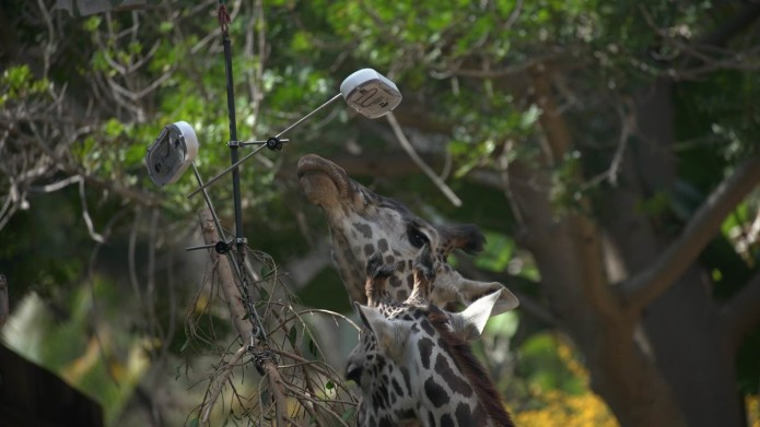 GooglePhotosGiraffeCurious1-1200x675