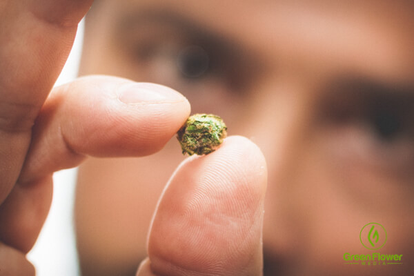 Chris holding a small cannabis bud