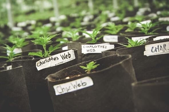 Charlotte's Web cannabis clones