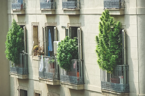 cannabis growing on a balcony in Spain