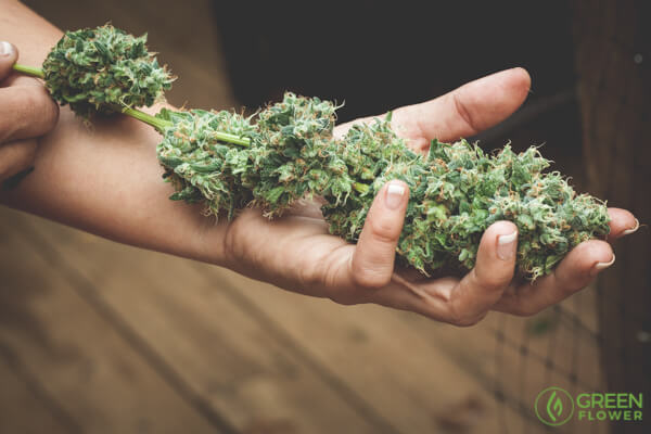 holding a big cannabis flower