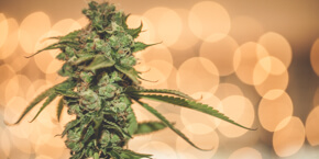 Green Flower's 11 most popular cannabis articles of 2015.