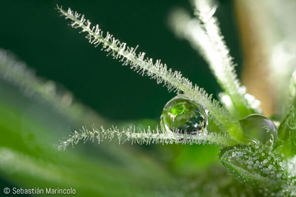 photo of cannabis trichomes