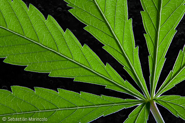 close-up of cannabis leaf