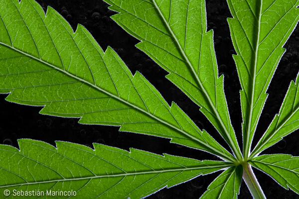 close-up of cannabis leaf