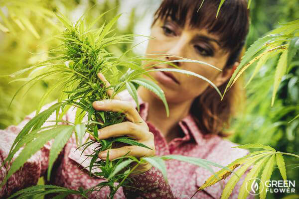 woman inspecting cannabis plant