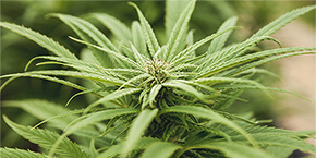 Your Beginner's Guide to the 9 Major Cannabinoids