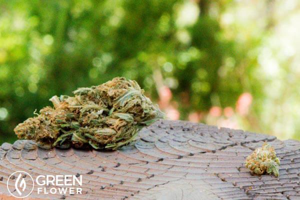 large cannabis bud on a table
