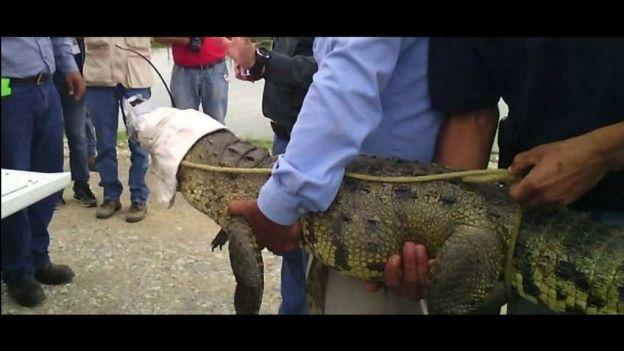 noticias monterrey capturan cocodrilo en NL
