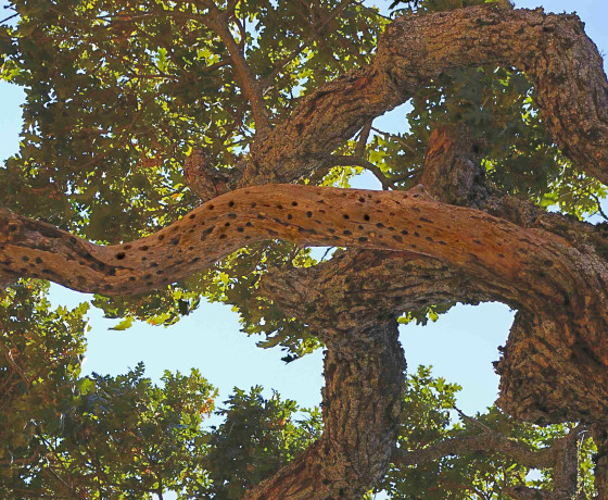 Henry-W.-Coe-State-Park-Morgan-Hill-Branches-560x460-1.jpg