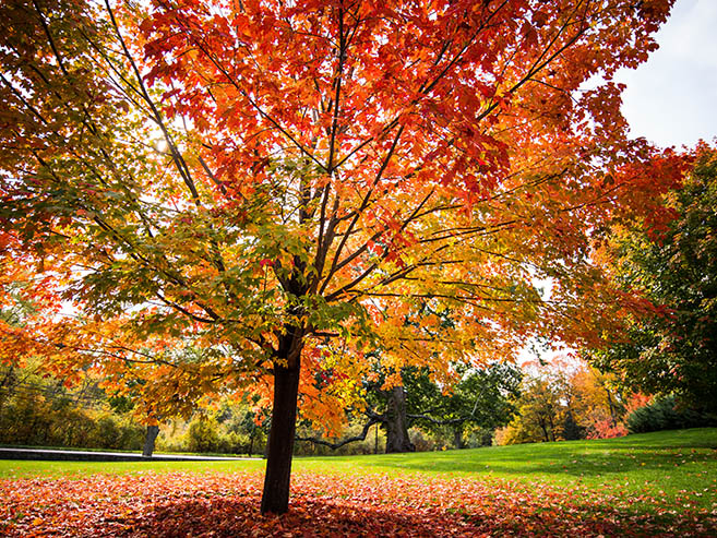 Maple Tree for Maple Meadows New Home Community