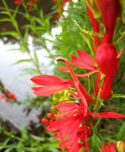Cardinal Flower for PNW home