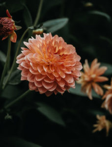 Dahlia Flowers for Easy to Maintain PNW home