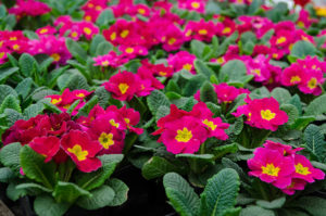 Pink Primrose for Pacific Northwest Home