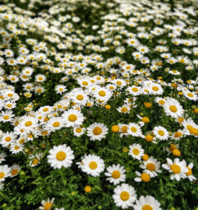Shasta Daisy for Low Maintenance Yard