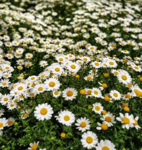 Shasta Daisy for Low Maintenance Yard