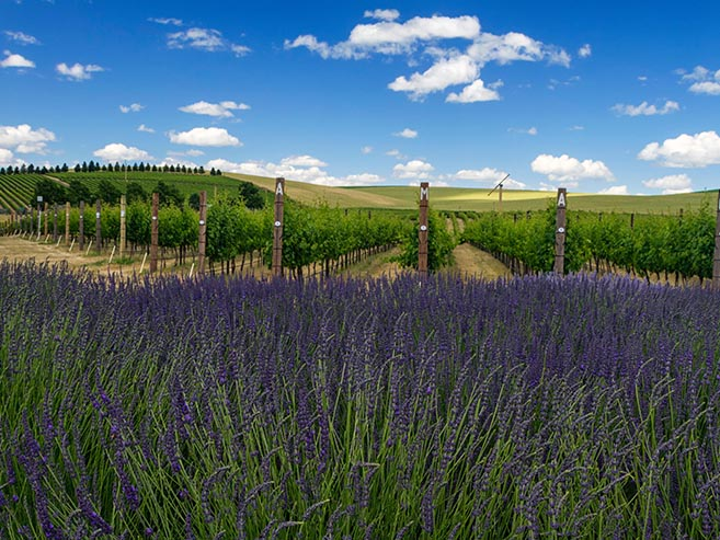 Walla Walla Winery with lavender for New Home Community - Provenance