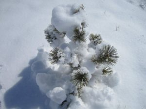 Baby pine tree in snow