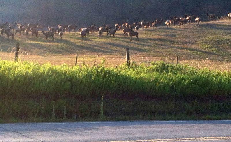 9Mile elk