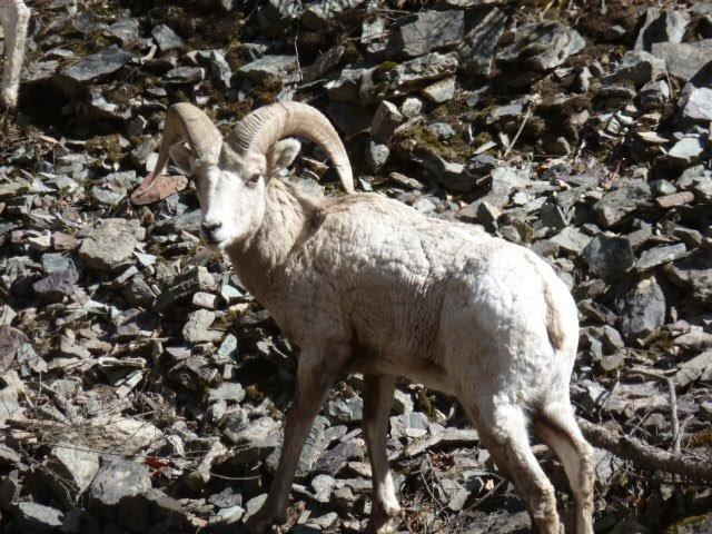 Sheep main