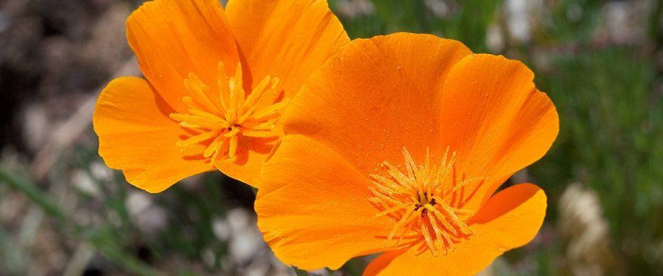 poppy-539555_1280