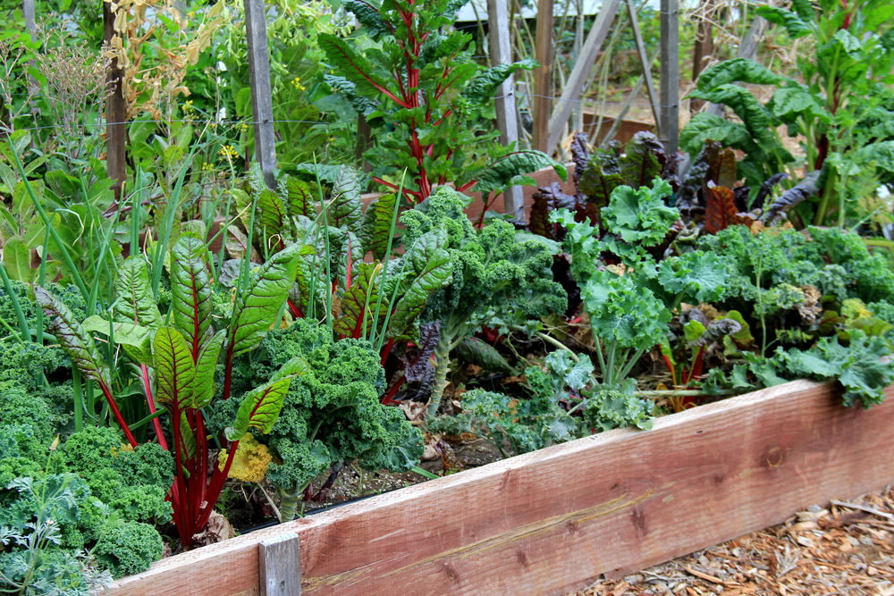 Lush healthy vegetable garden growing in wood box