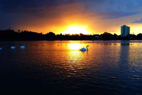 swans in lakeland at sunset