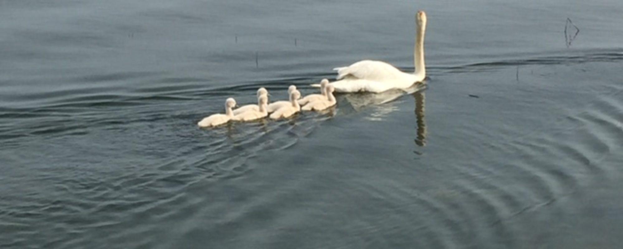 pond of swans