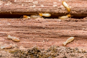 wood-destroying-insects-housemaster