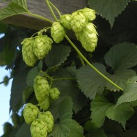 hop harvest featured