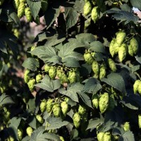 Brewing with new hop varieties