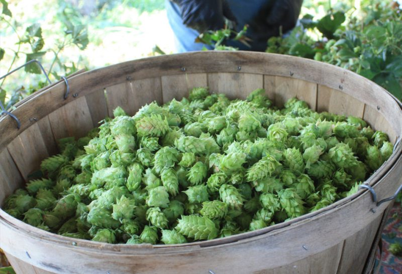how-to-store-hops